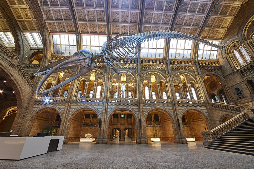 Blue whale in Hintze Hall © The Trustees of the Natural History Museum, London [2017]. All rights reserved.